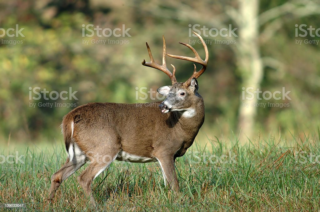 Whitetail deer sticking its tongue out stock photo