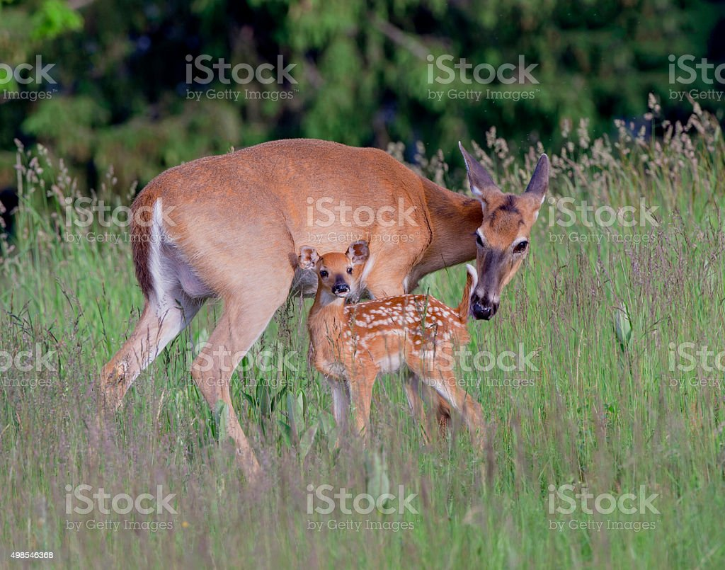Whitetail doe and fawn stock photo
