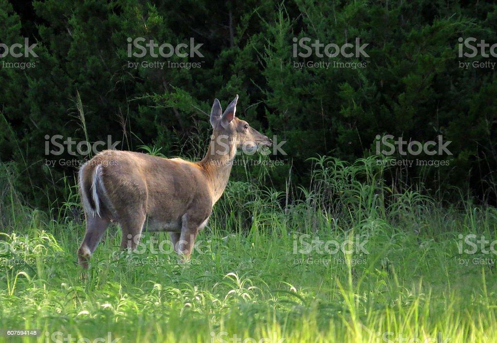 Whitetail Doe Deer Grazing on Grass stock photo