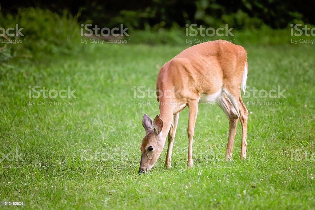 Whitetail doe eating grass stock photo