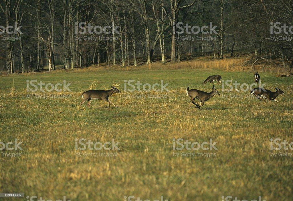 Whitetail Rut stock photo