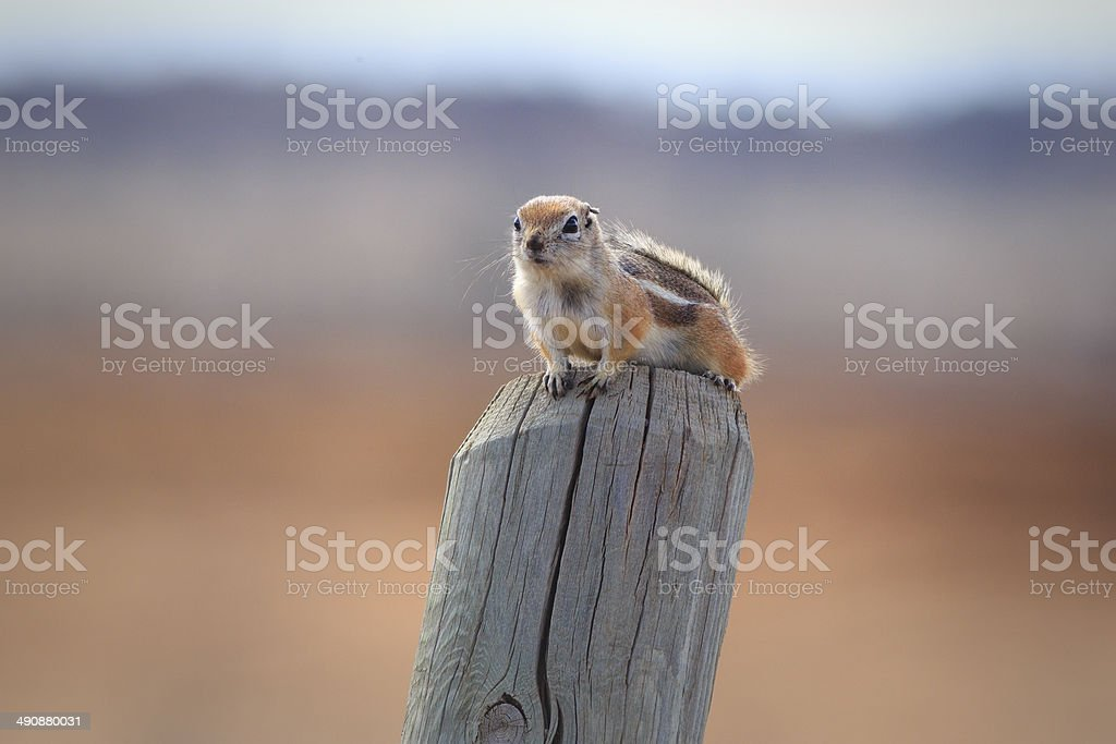 White-tailed Antelope Squirrel royalty-free stock photo
