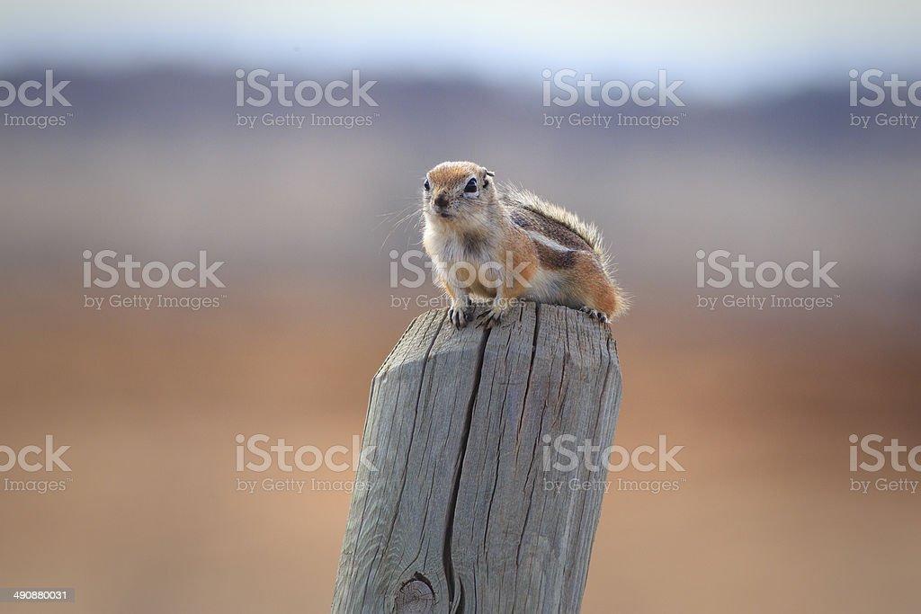 White-tailed Antelope Squirrel stock photo