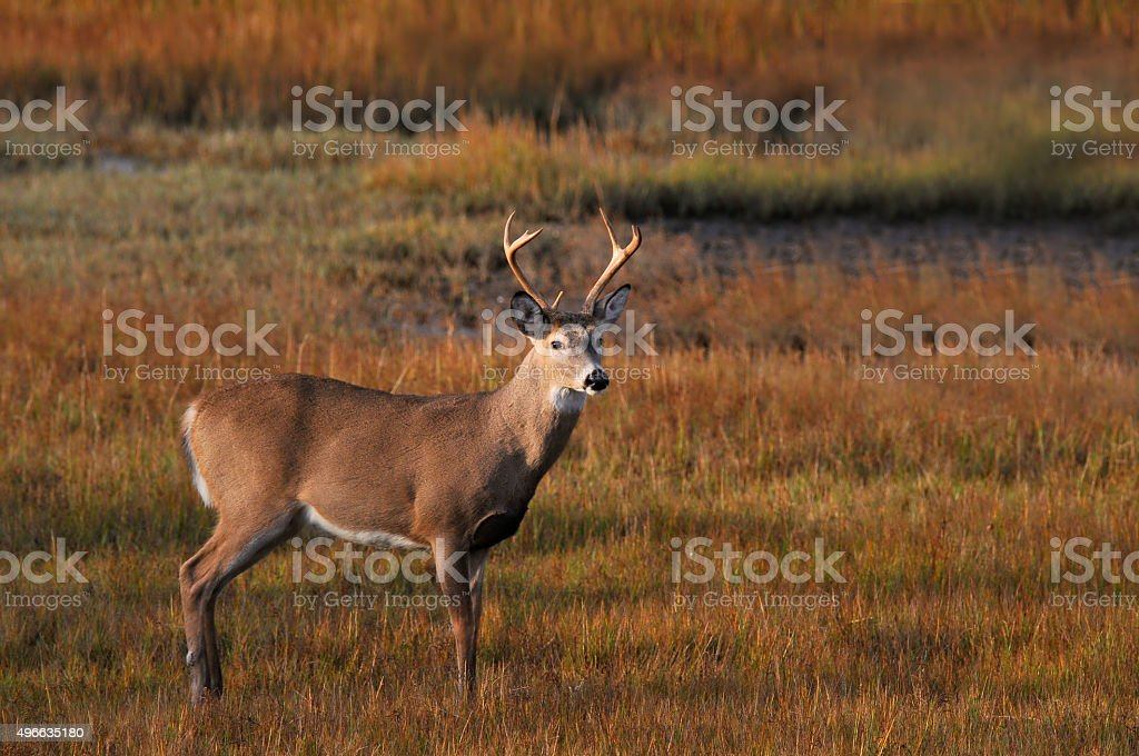 White-tailed Buck At Sunrise stock photo