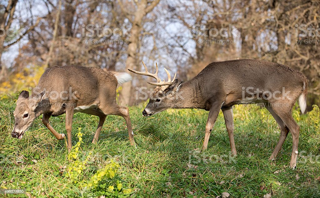 White-tailed buck in rut stock photo