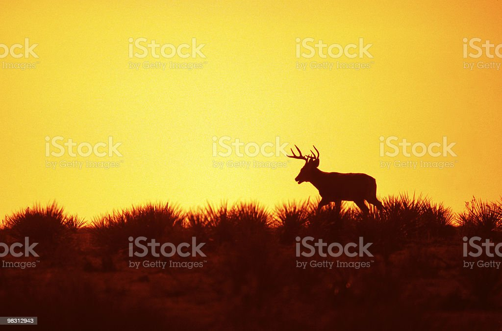 White-tailed Buck in Sunrise royalty-free stock photo
