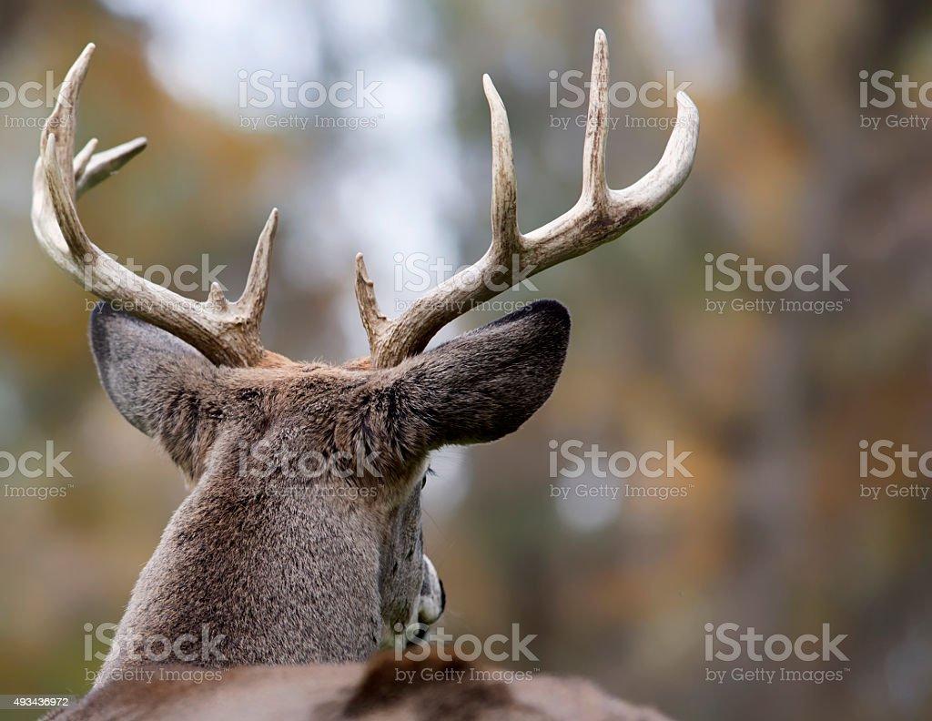 White-tailed buck stock photo
