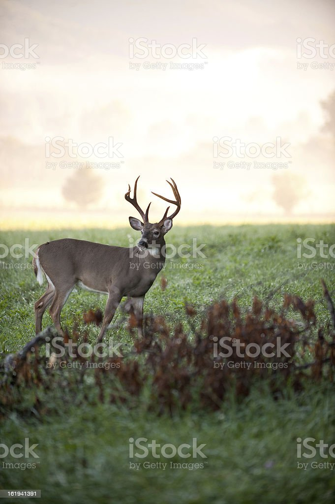 White-tailed deer buck in a meadow stock photo