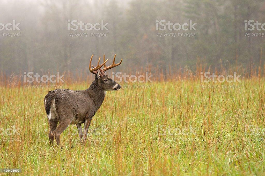 White-tailed deer buck in rain stock photo