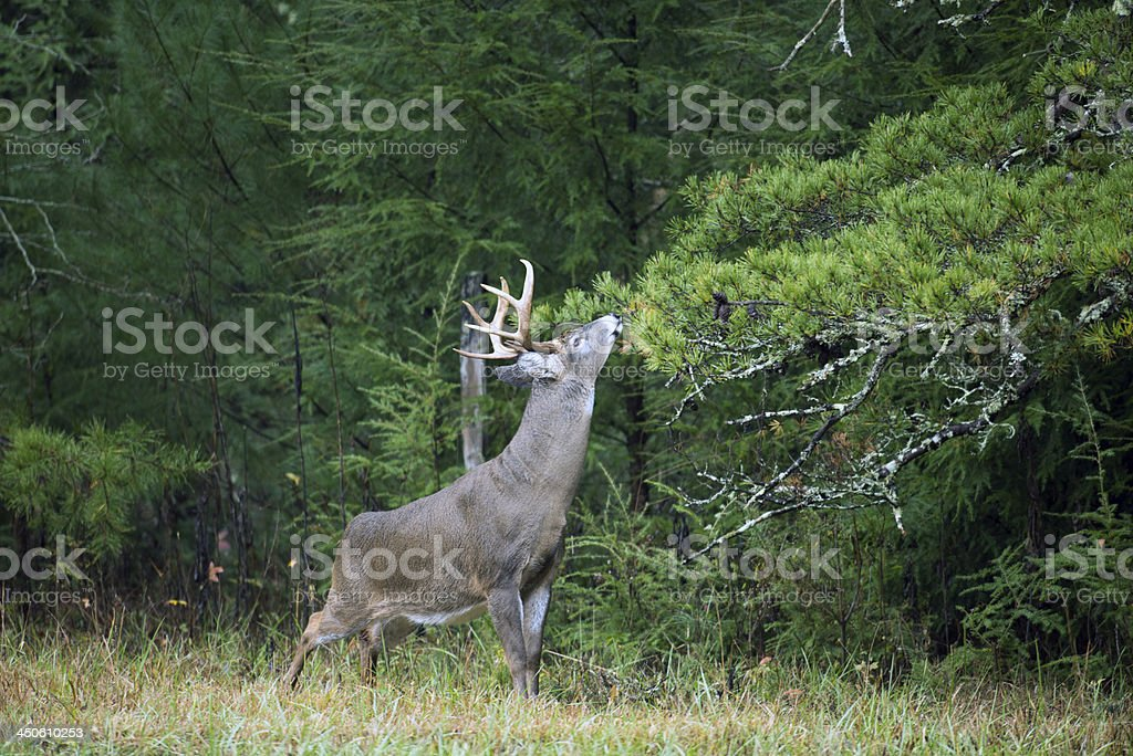 White-tailed deer buck royalty-free stock photo