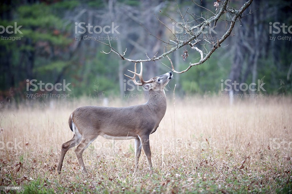White-tailed deer buck rut behavior royalty-free stock photo