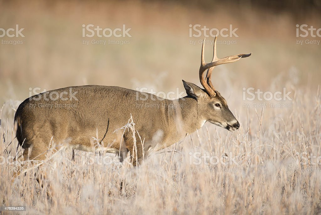 White-tailed deer bucks sparring royalty-free stock photo