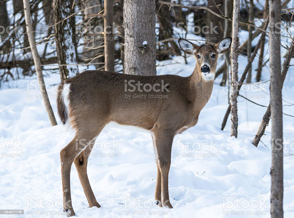 White-tailed Deer Doe in Winter stock photo