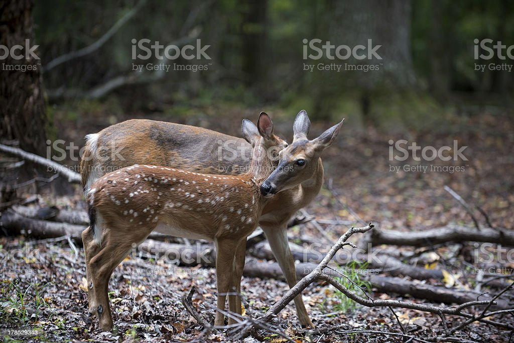 White-tailed deer fawn and doe royalty-free stock photo