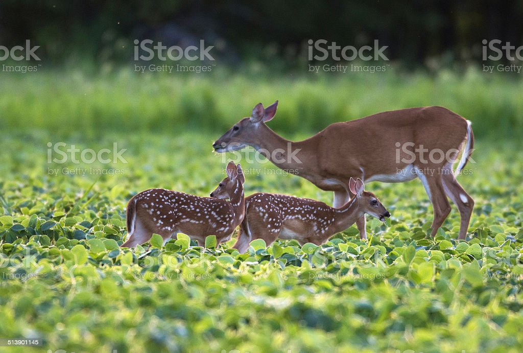Whitetailed deer fawn stock photo