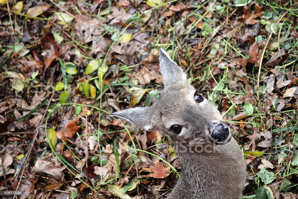 White-tailed Deer head peeking from hiding place stock photo