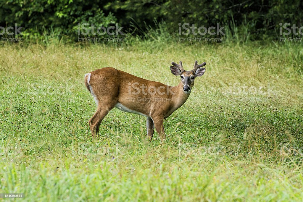 White-tailed Deer In Meadow royalty-free stock photo
