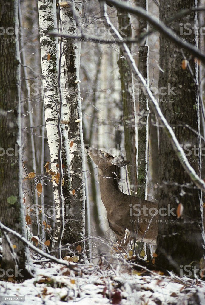 white-tailed deer in poplar forest royalty-free stock photo