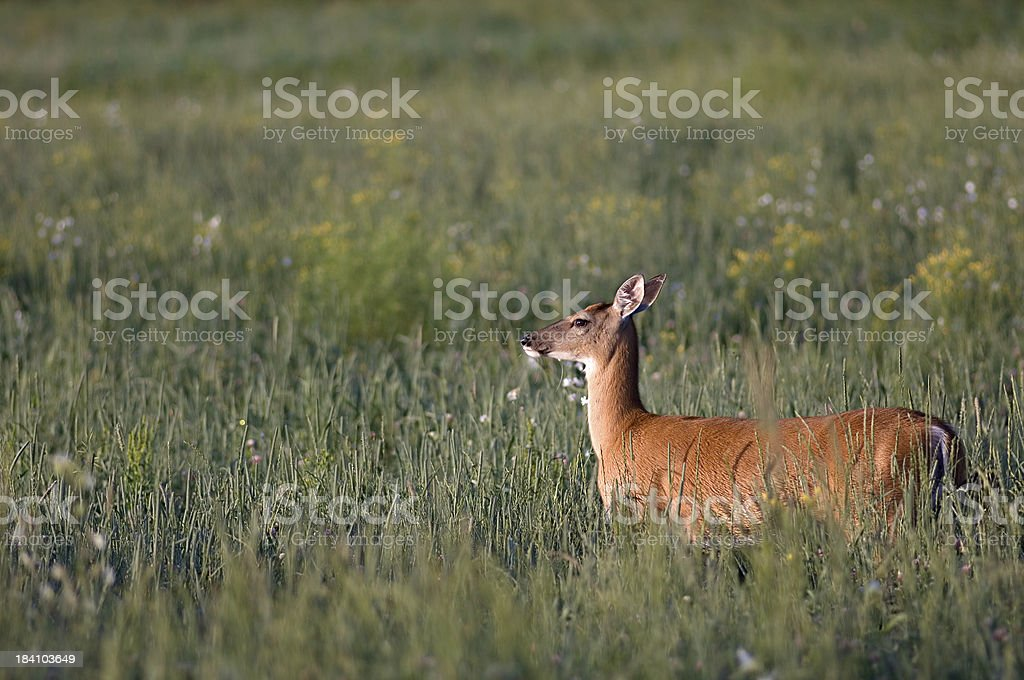 white-tailed deer in the morning royalty-free stock photo