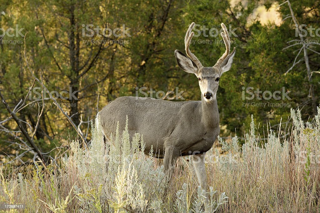 White-tailed Deer royalty-free stock photo