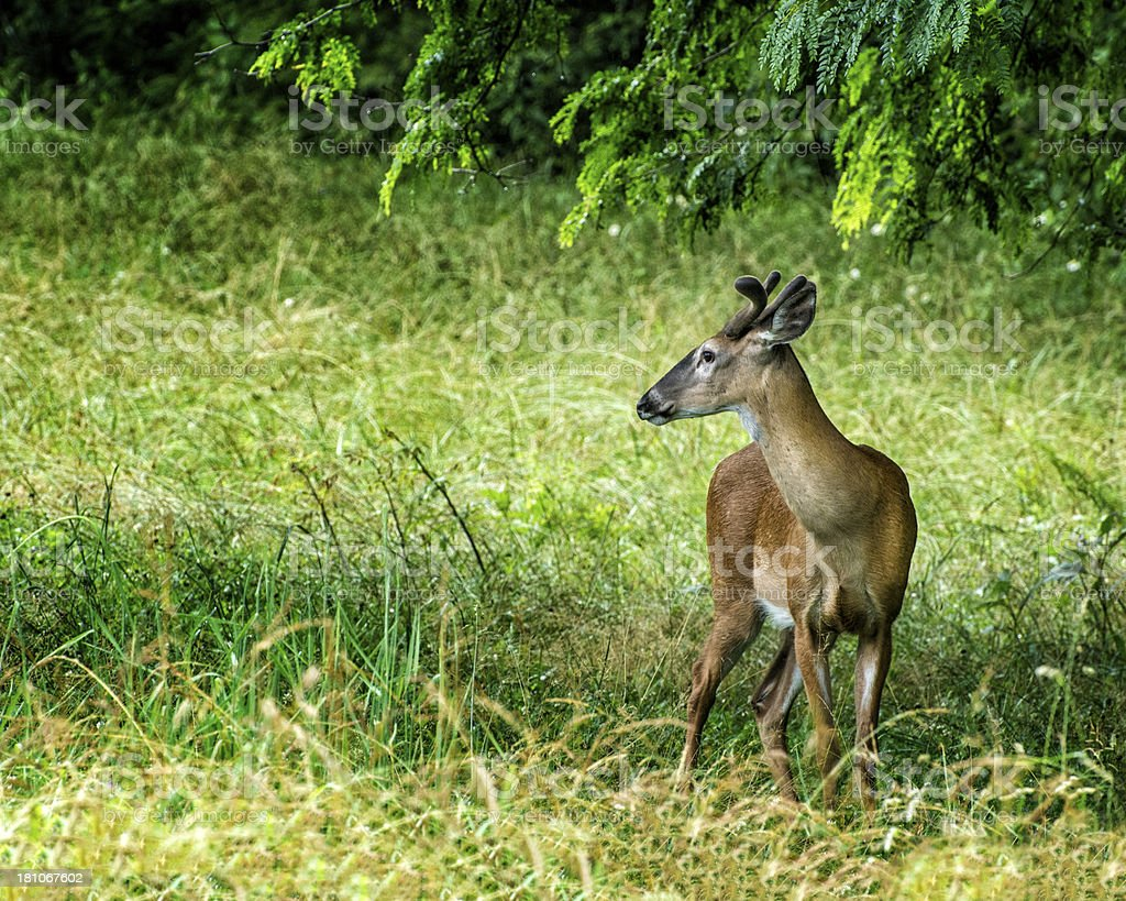 White-tailed Deer Standing Under Tree royalty-free stock photo