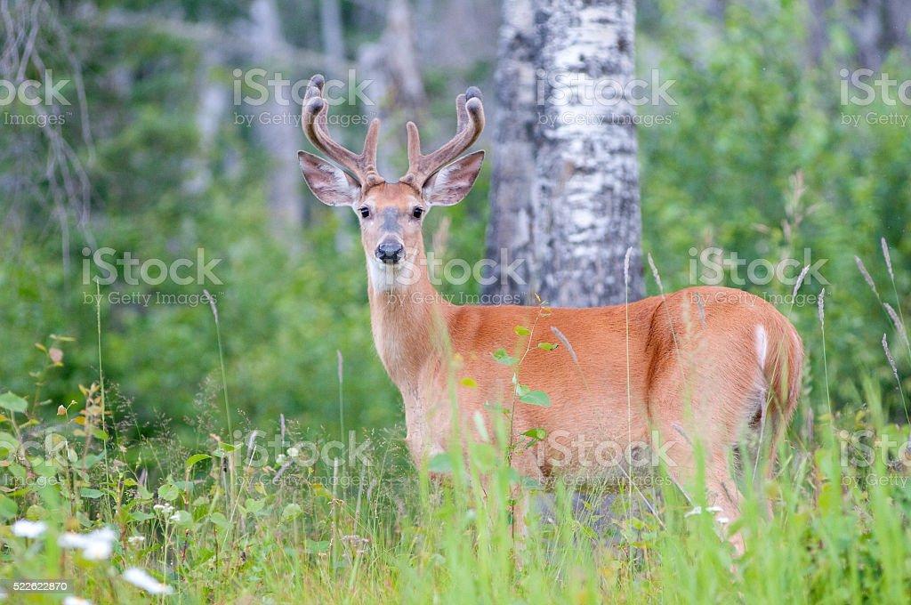 White-tailed Deer Waskesiu stock photo