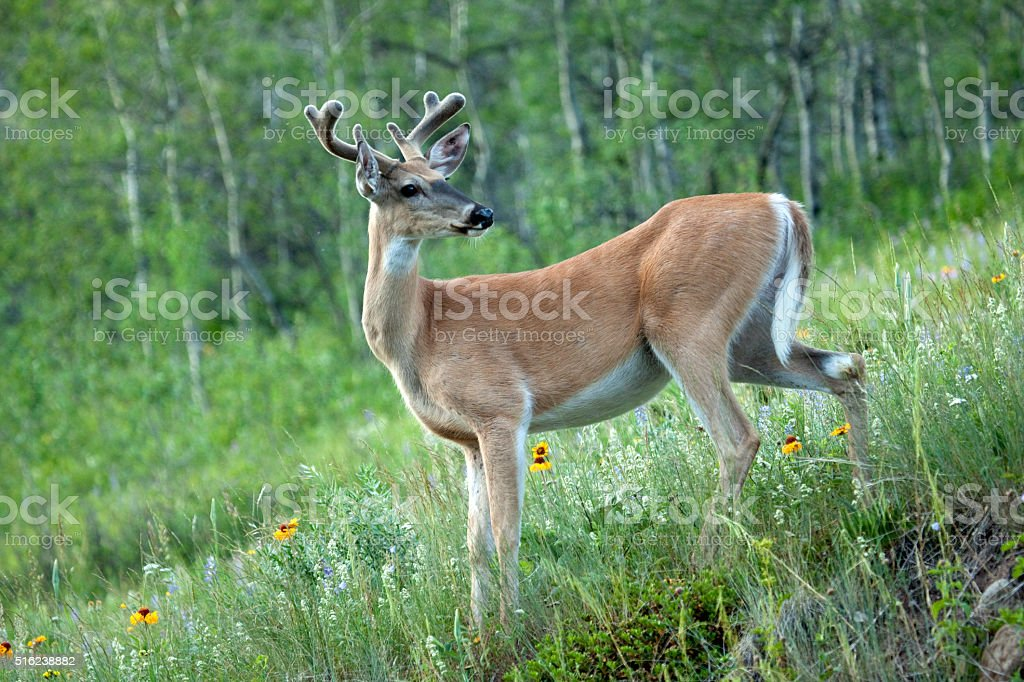 White-tailed deer Waterton Lakes National Park Alberta Canada stock photo
