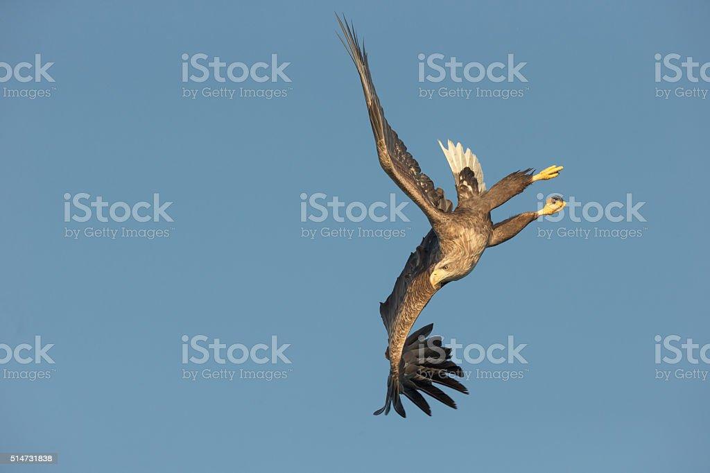 White-tailed Eagle Aerobatics. stock photo
