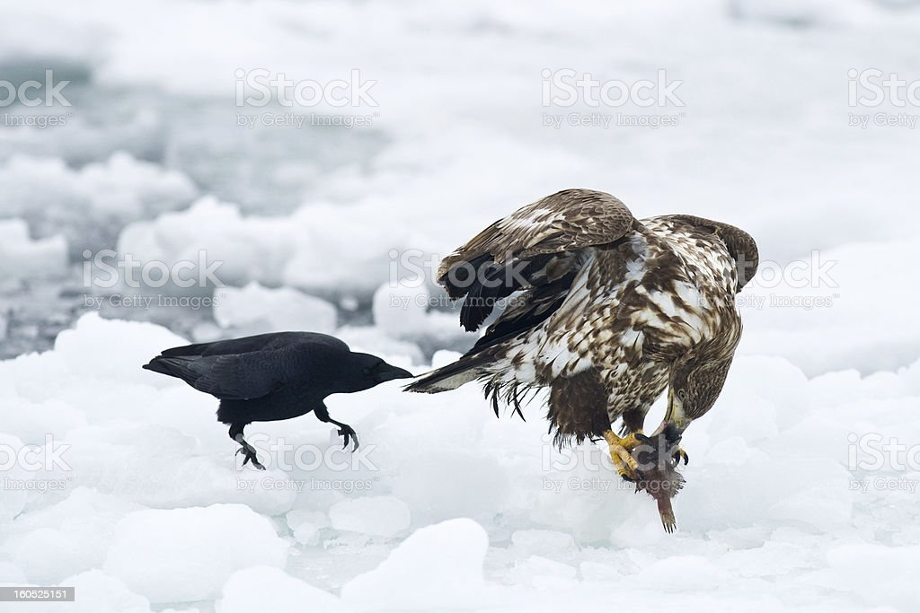 White-tailed Eagle and Crow royalty-free stock photo