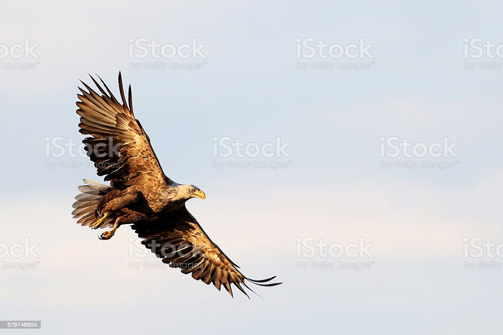 White-Tailed Eagle (Haliaeetus albicilla) flying in Northern Finland stock photo