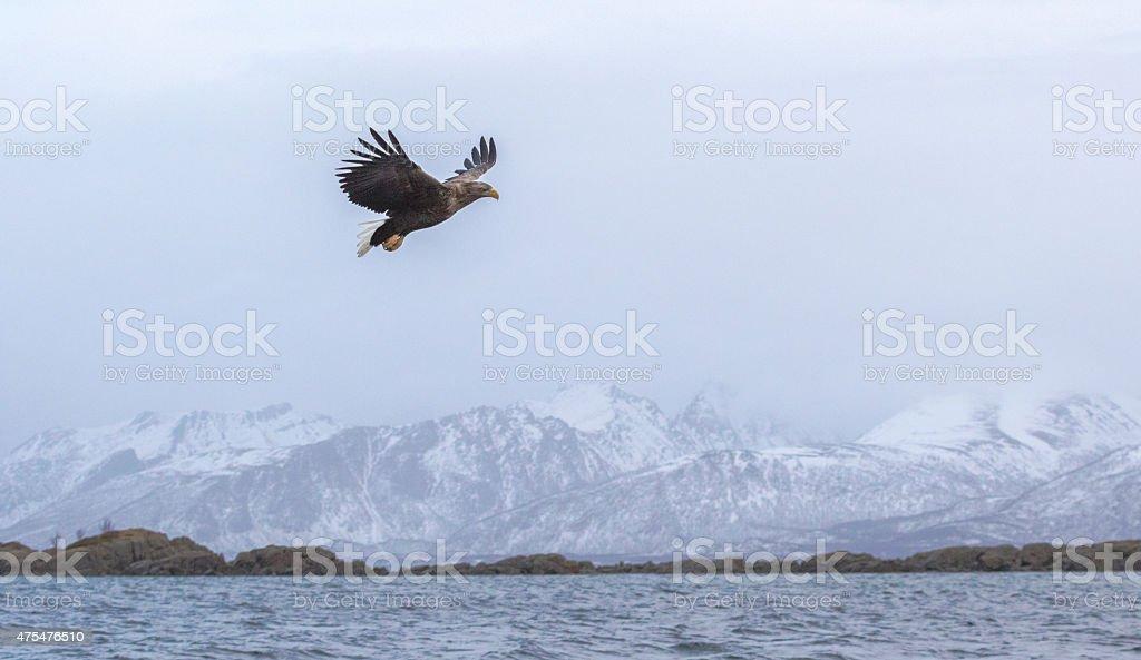 White-tailed eagle gliding over water stock photo