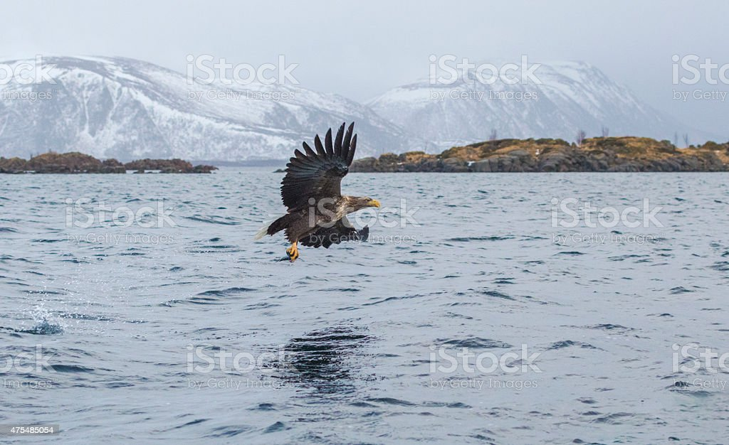 White-tailed eagle gliding over water with a fish stock photo