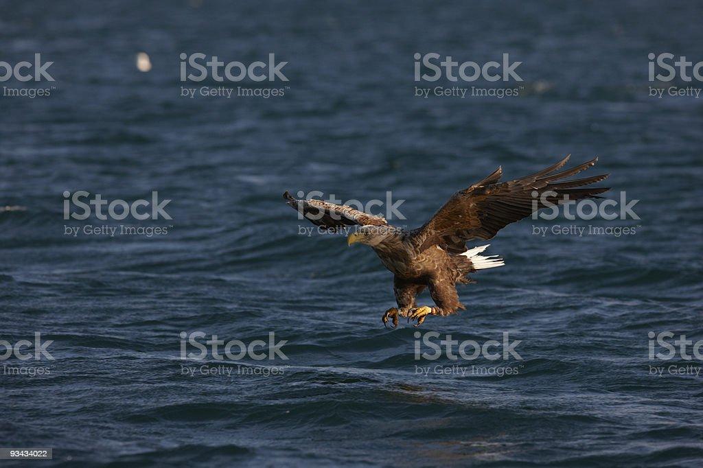 White-tailed Eagle (Haliaeetus albicilla) going to catch a fish stock photo