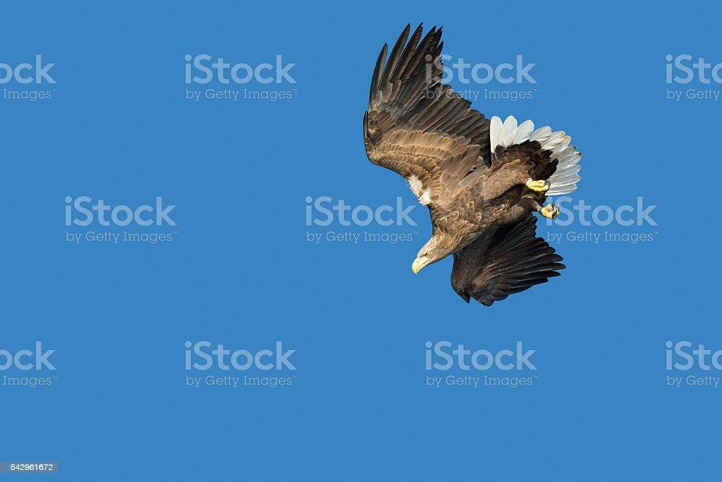 White-tailed Eagle Hunting stock photo
