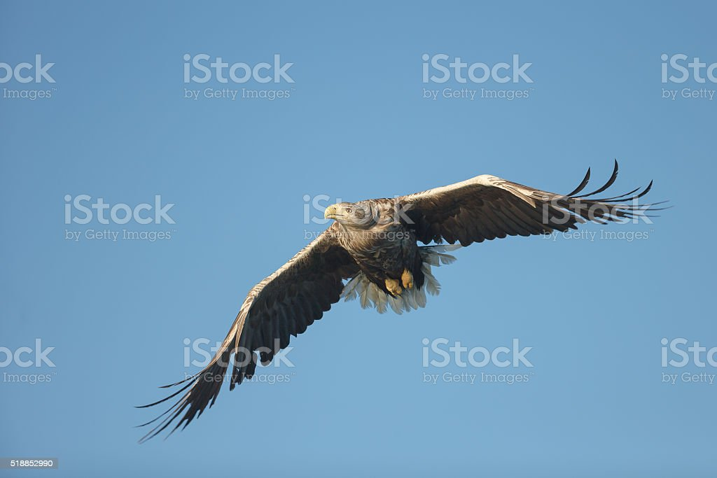 White-tailed Eagle in Flight stock photo