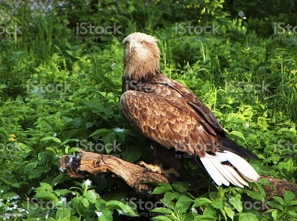 White-tailed eagle is sitting on a log royalty-free stock photo