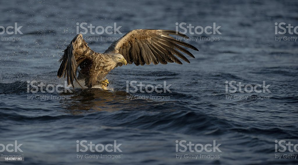 White-tailed Eagle royalty-free stock photo