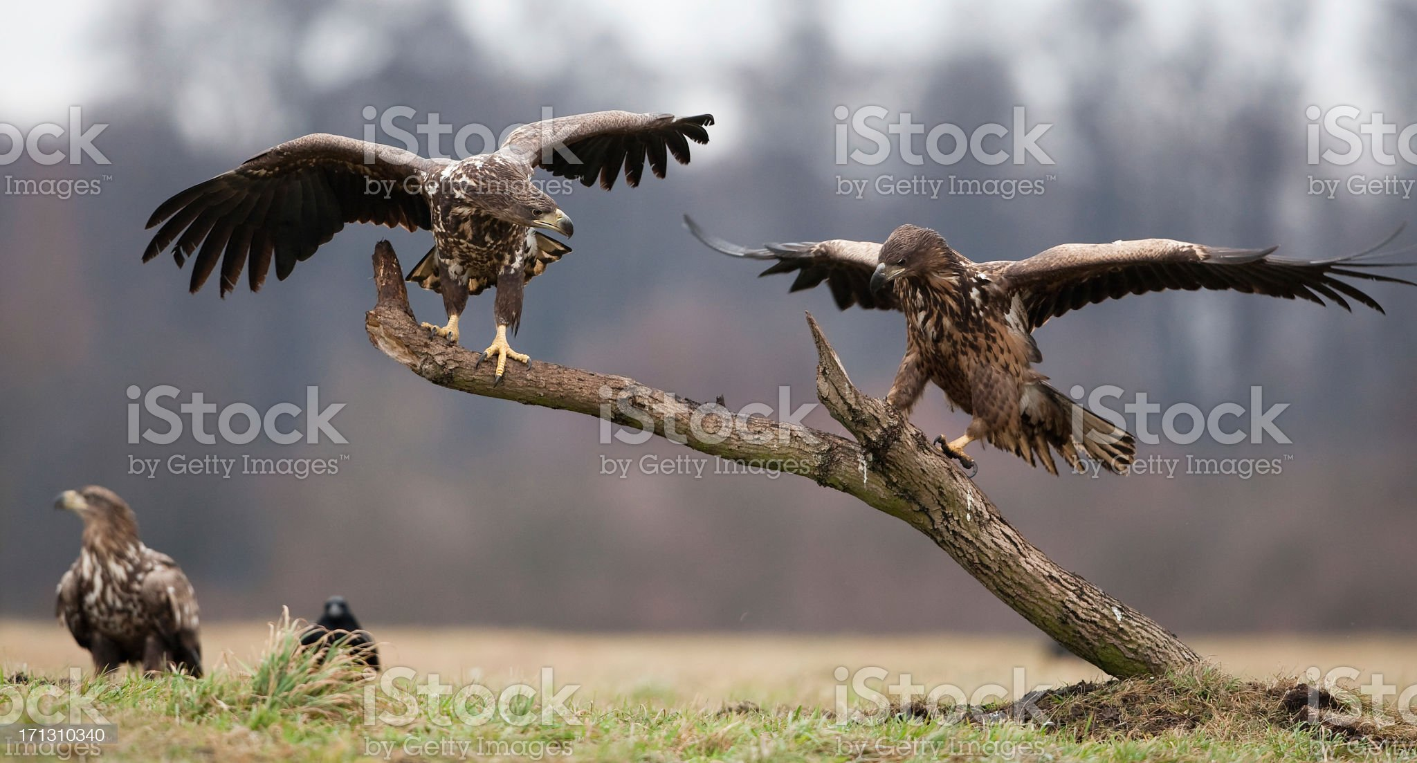 White-tailed Eagle (Haliaeetus albicilla) royalty-free stock photo