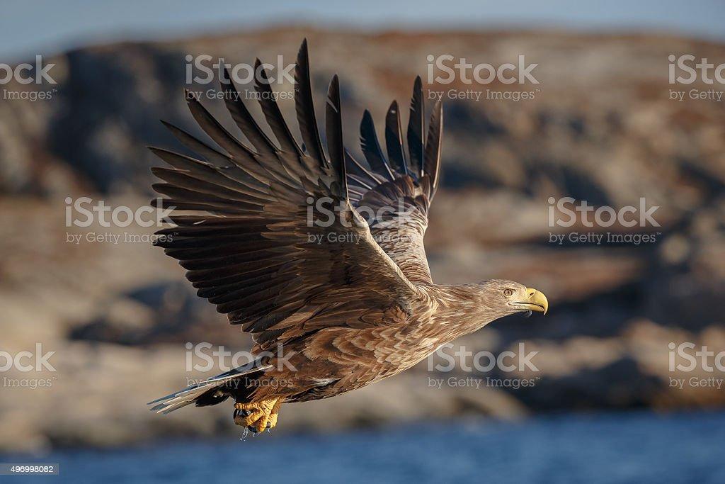 White-tailed eagle stock photo