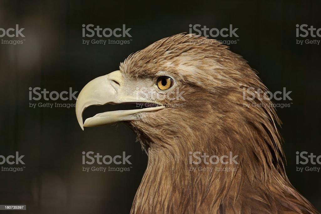 White-tailed Eagle (Haliaeetus albicilla), portrait royalty-free stock photo