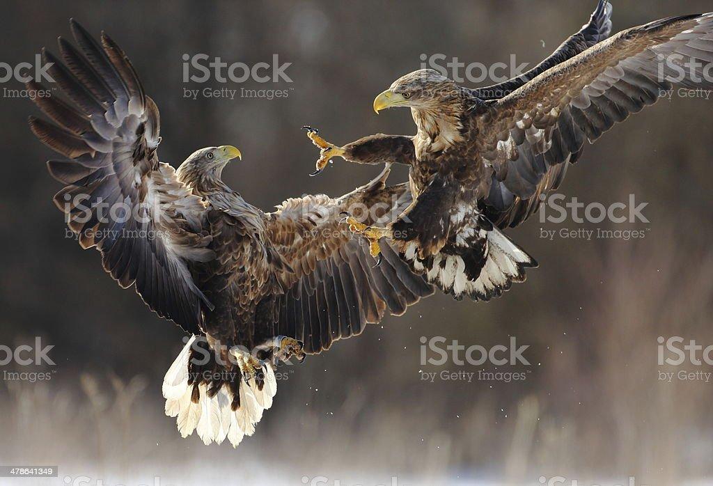 White-tailed Eagles fighting stock photo