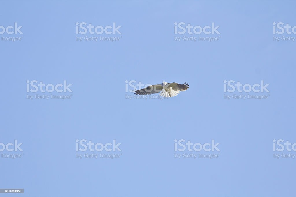 White-tailed Kite looking for food royalty-free stock photo