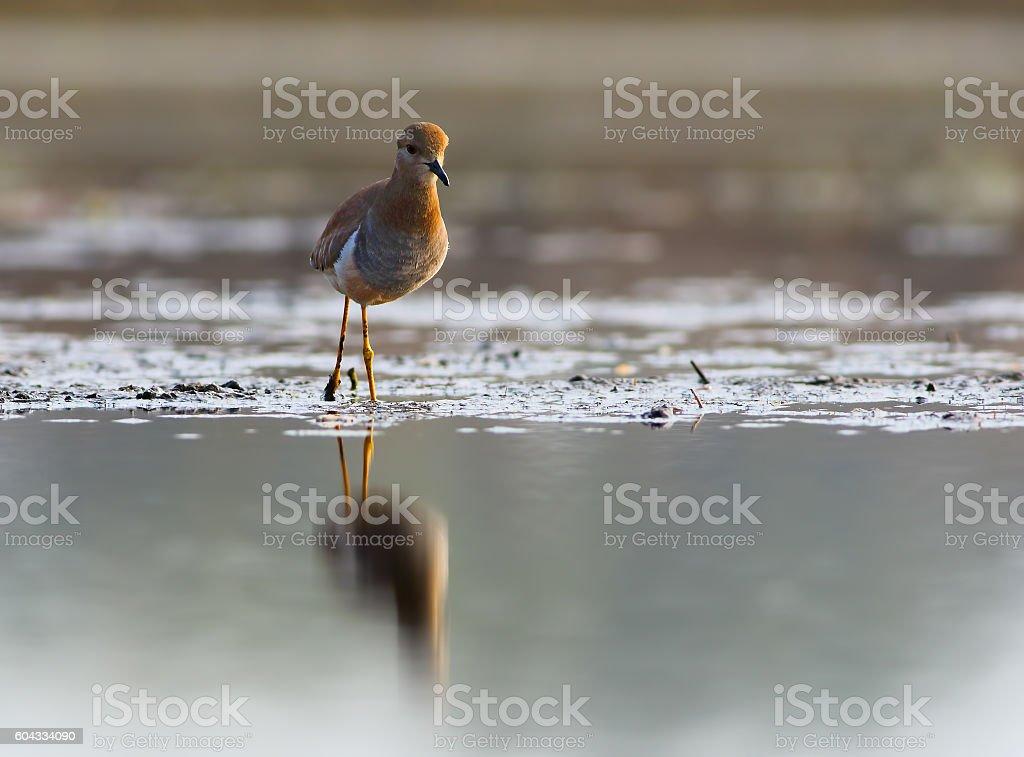 White-tailed lapwing stock photo