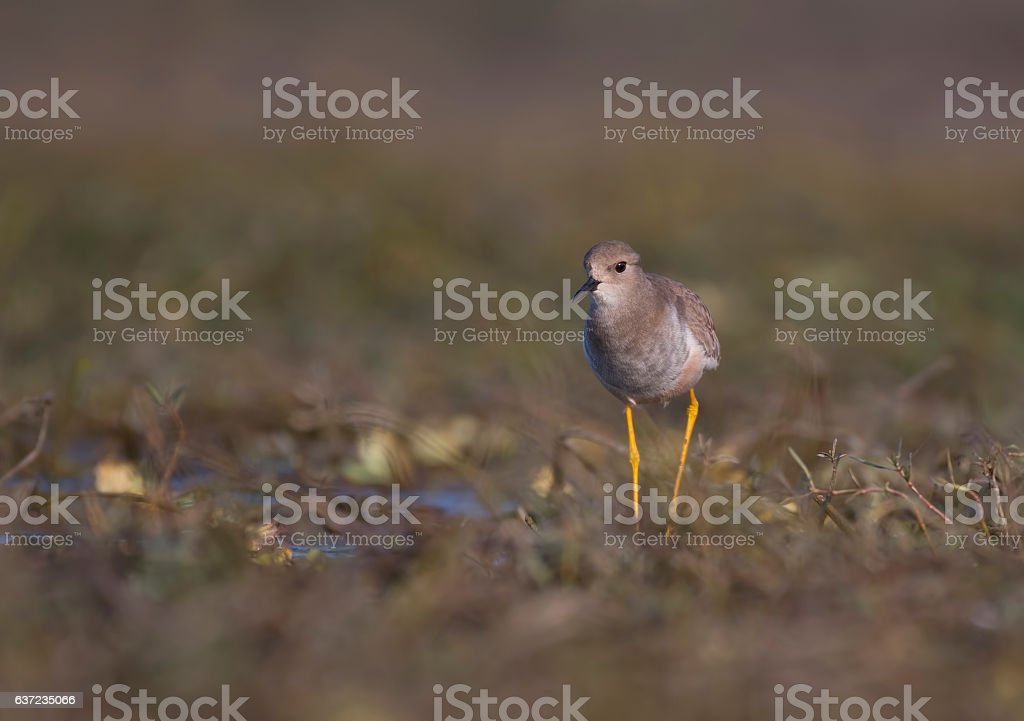 White-tailed lapwing (Vanellus leucurus) stock photo