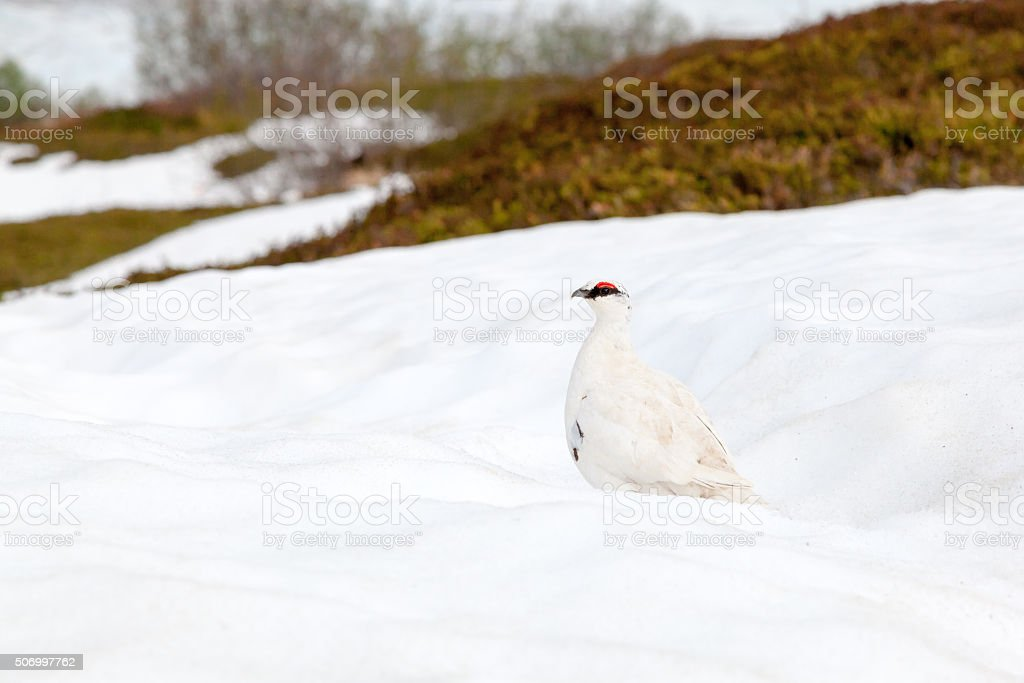 White-tailed ptarmigan bird in early spring stock photo