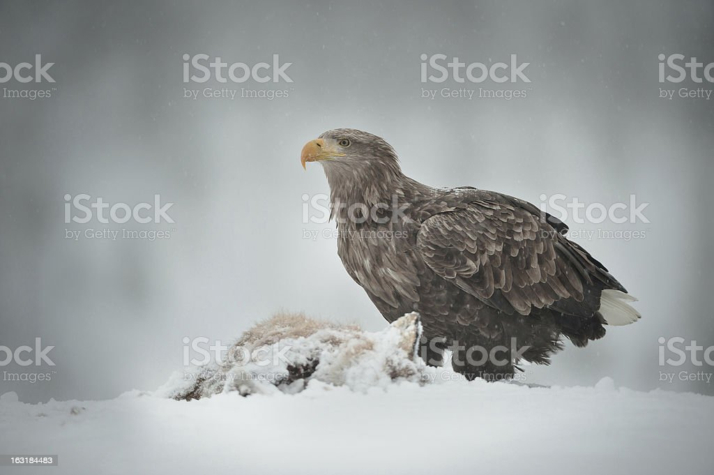 White-tailed Sea Eagle royalty-free stock photo