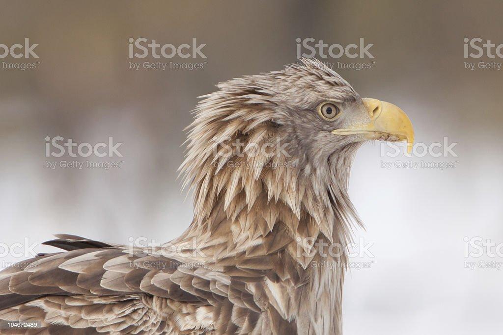 White-Tailed Sea Eagle royalty-free stock photo