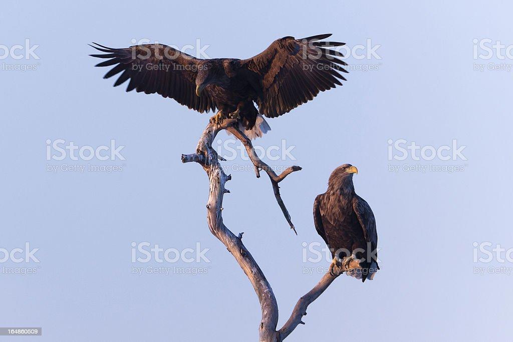 White-Tailed Sea Eagle stock photo