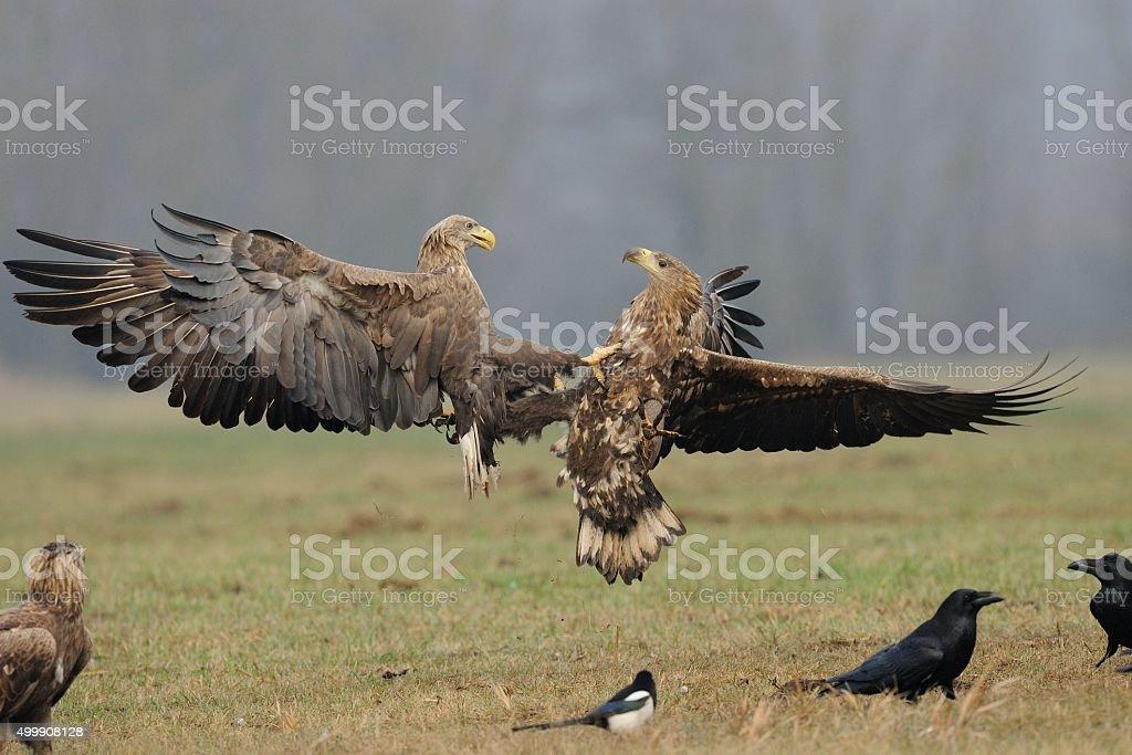 White-tailed sea eagle (Haliaeetus albicilla) stock photo
