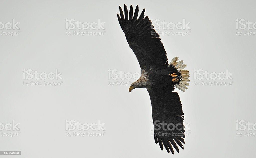 White-tailed sea eagle soaring. stock photo